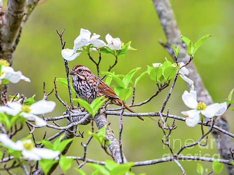 Song Sparrow in the Dogwood by Kerri Farley