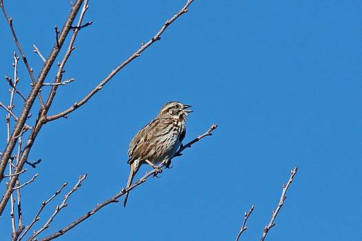 Song Sparrow by Michael Peychich
