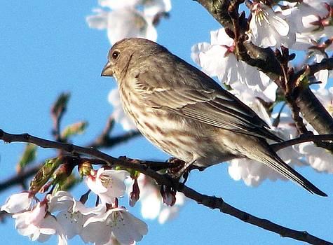 Angela Davies - Song Sparrow Spring