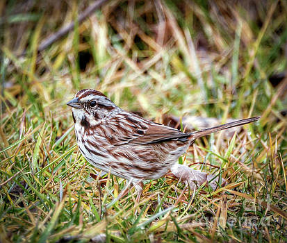 Song Sparrow Sweetie by Kerri Farley