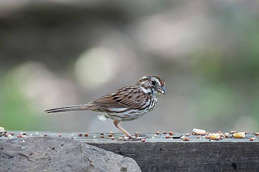 Dan Friend - Song Sparrow with seed in beak