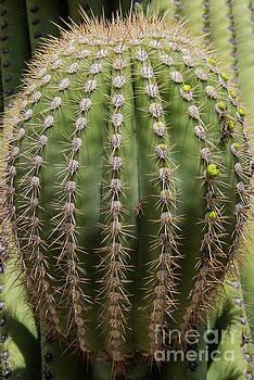 Bob Phillips - Sonoran Desert Barrel