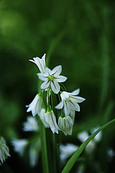 Soothing White Lily Flowers by Nazeem Sheik