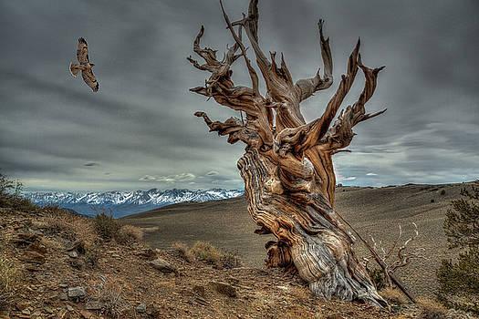 Rick Strobaugh - Soaring over Bristle-cone Pine
