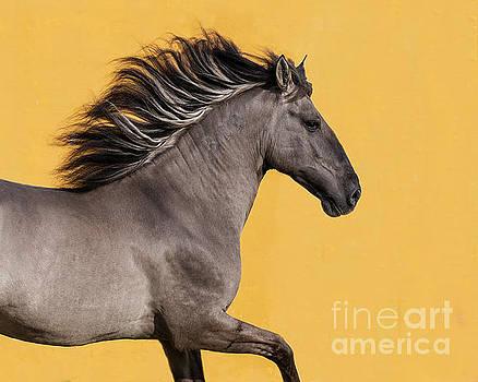 Sorraia Stallion Runs by Carol Walker