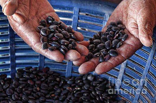 Tatiana Travelways - Sorting black beans in Guatemala