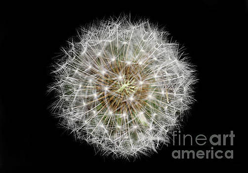 Soul of a Dandelion by Karen Adams