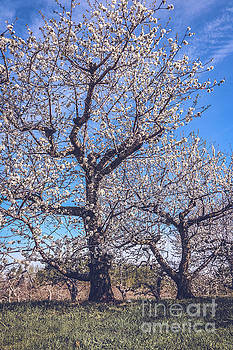Sour cherry orchard 1 by Claudia M Photography
