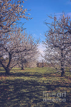 Sour cherry orchard 2 by Claudia M Photography