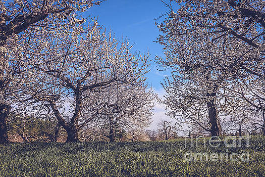 Sour cherry orchard by Claudia M Photography