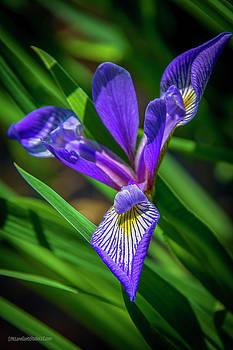 Southern Blue Flag Iris by LeeAnn McLaneGoetz McLaneGoetzStudioLLCcom