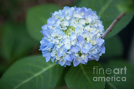 Dale Powell - Southern Blue Hydrangea Blooming