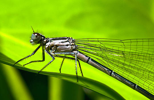 Southern Damselfly by Claire Wilson