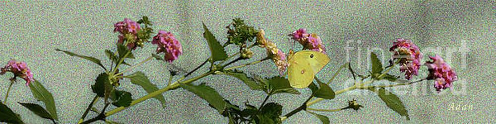 Felipe Adan Lerma - Southern Dogface Butterfly Feasting on December Lantanas Austin Texas v1 Panorama