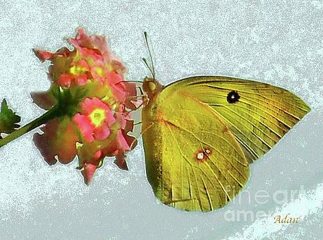 Felipe Adan Lerma - Southern Dogface Butterfly Feasting on December Lantanas Austin v2