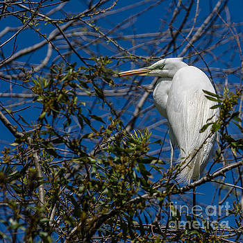 Dale Powell - Southern Egret