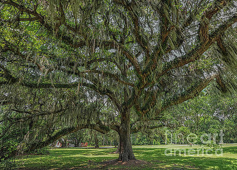Dale Powell - Southern Magic Live Oak Tree Dripping with Spanish Moss