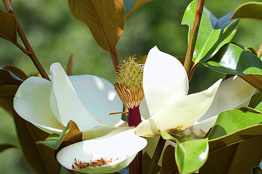 Southern Magnolia Blossom by Kathy Clark