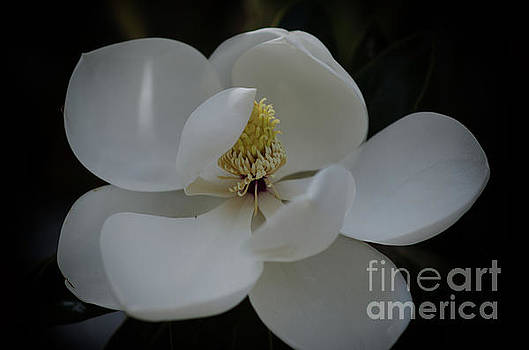 Dale Powell - Southern Magnolia Blossom Soft Petals