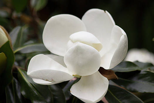 Southern Magnolia by Mark Michel