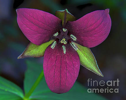 Southern Red Trillium by Barbara Bowen
