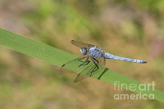 Southern skimmer male - Orthetrum brunneum by Jivko Nakev