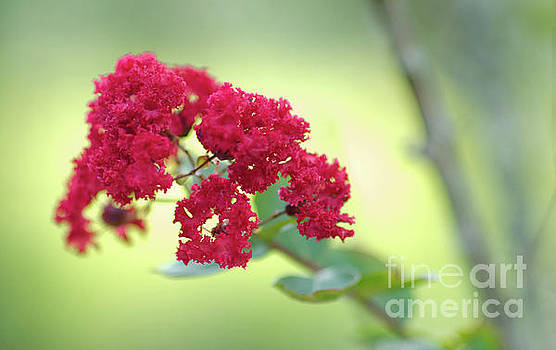 Southern Summer Crepe Myrtle Blooming by Dale Powell