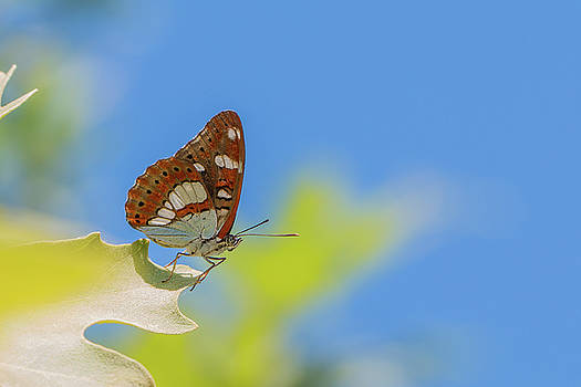 Southern White Admiral - Limenitis reducta by Jivko Nakev