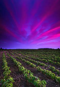 Soy Bean Field by Cale Best