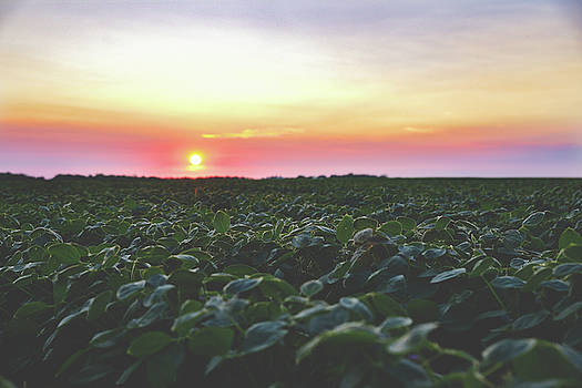 Soybean Field Sunset by Betsy Armour