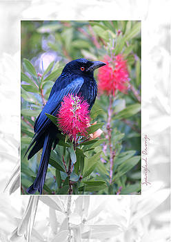 Holly Kempe - Spangled Drongo