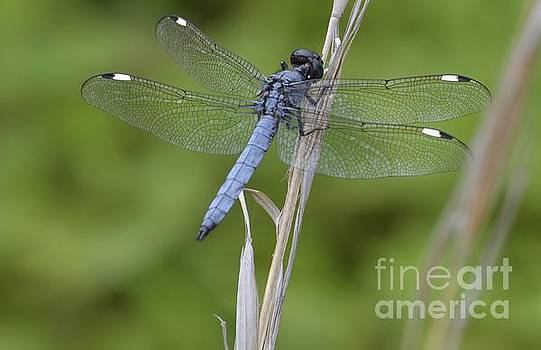 Spangled Skimmer by Randy Bodkins