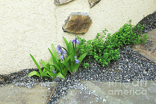 Spanish bluebells growing in a gravel path with thyme by Louise Heusinkveld