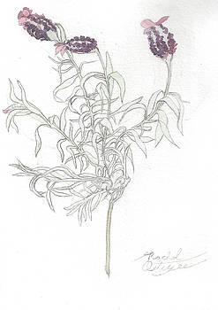 Spanish Lavender by Rachel Osteyee