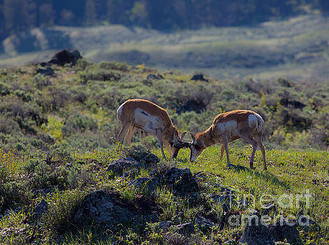 Sparring Pronghorn Antelope 3 by Natural Focal Point Photography