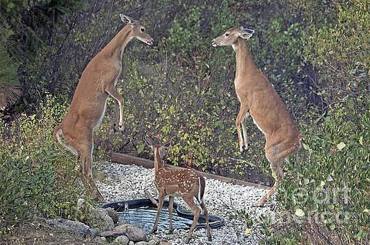 Cindy Murphy - NightVisions - Sparring female deer Spirit Lake ID