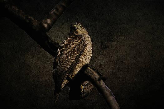 Manjot Singh Sachdeva - Sparrow Hawk