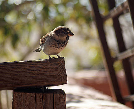 Sparrow on fence by Robert Rodda