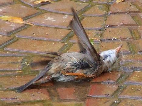Sparrow taking a bath by Bill Vernon