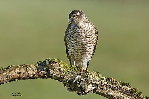 Sparrowhawk  by Dean Eades
