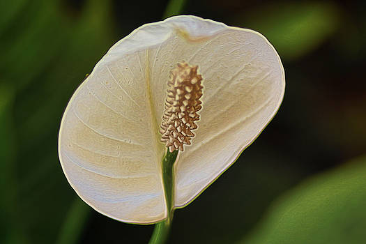 Spathiphyllum by Byron Fair
