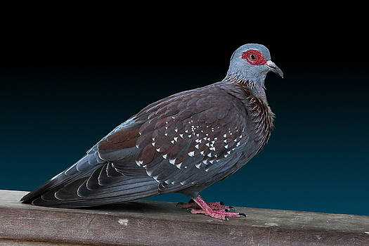 Speckled Pigeon by Debi Dalio