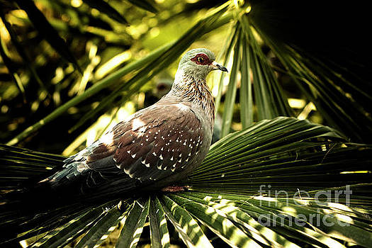 Speckled Pigeon by Petrus Bester