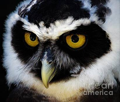 Spectacled Owl by Paulette Thomas