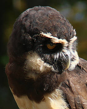 Spectacled Owl Portrait 1 by William Selander