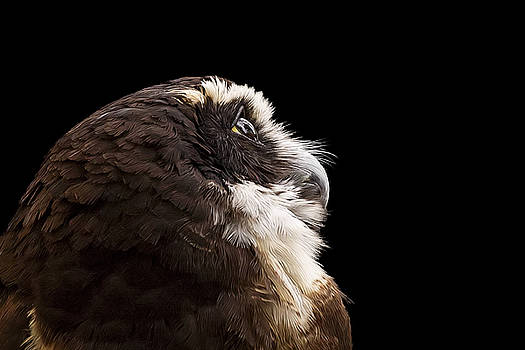 Janet Fikar - Spectacled Owl Side View