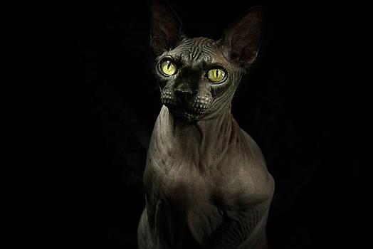 Sphynx Cat Portrait by Glenda Wright