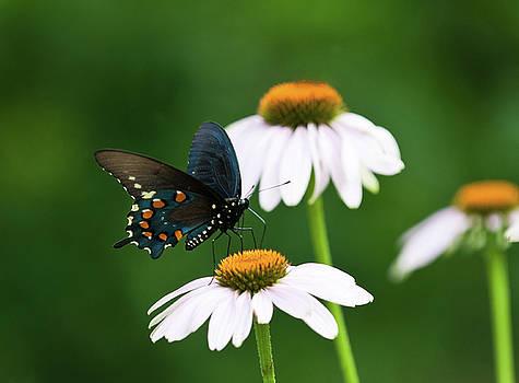 Lara Ellis - Spice Bush Swallowtail on Echinacea 2