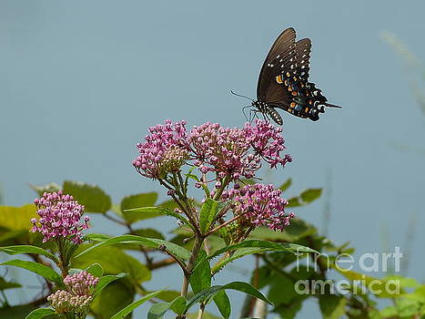 Spicebush Butterfly by Donald C Morgan