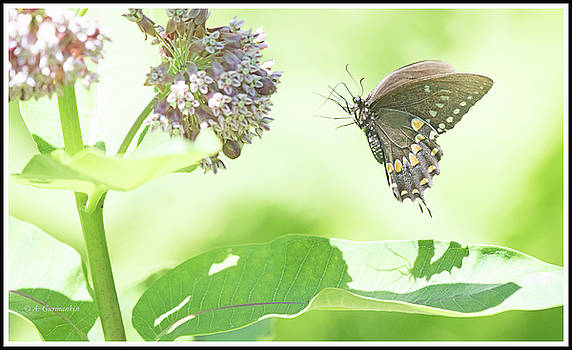 Spicebush Swallowtail Butterfly Hovers at Milkweed by A Gurmankin